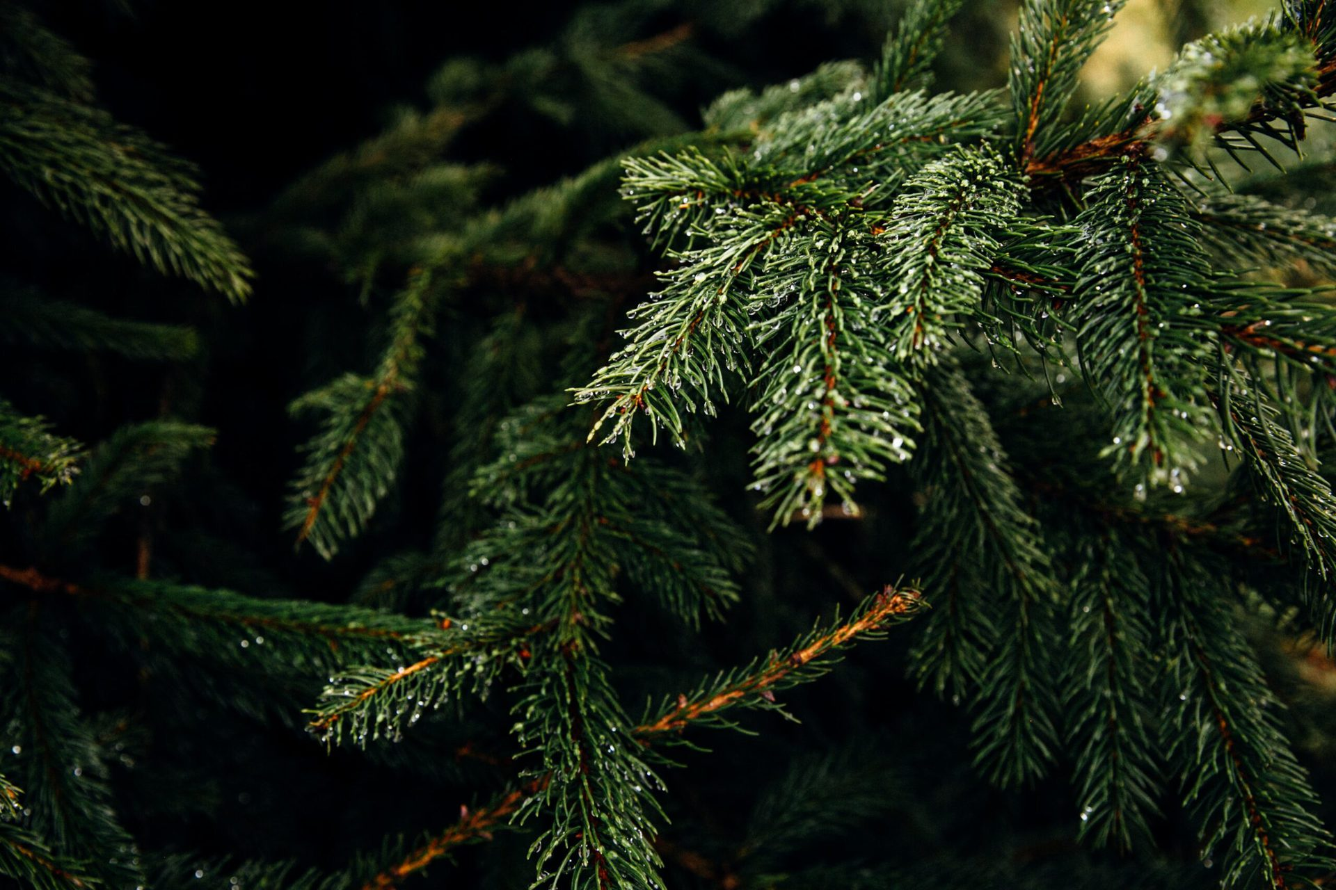 Did you know you can pre-select your Christmas tree in October at French Christmas Trees?